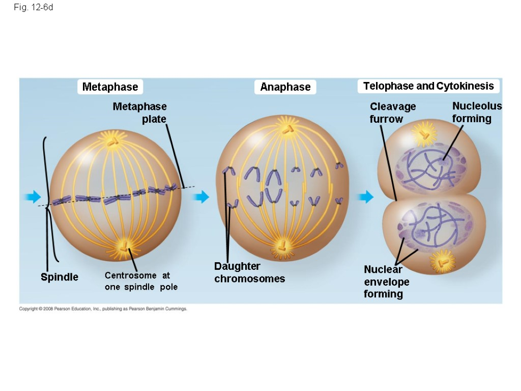 Fig. 12-6d Metaphase Anaphase Telophase and Cytokinesis Cleavage furrow Nucleolus forming Metaphase plate Centrosome