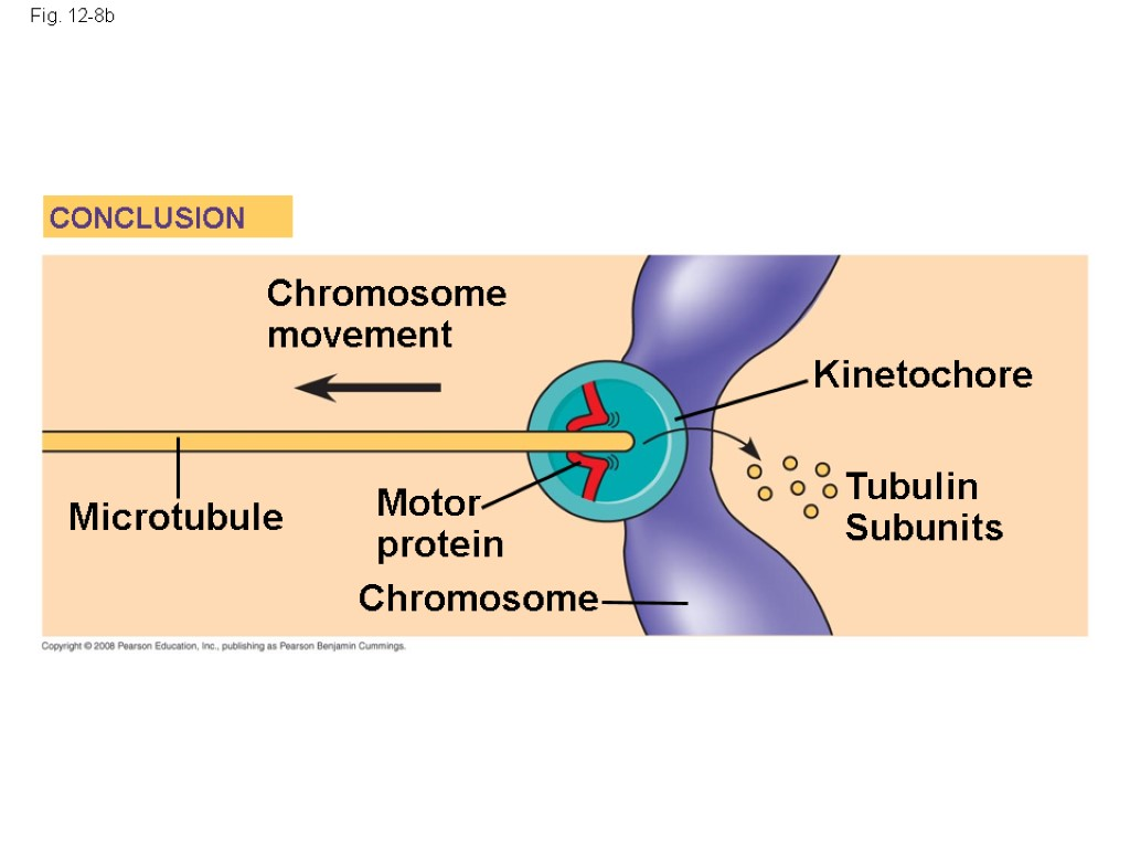 Fig. 12-8b Kinetochore Microtubule Tubulin Subunits Chromosome Chromosome movement Motor protein CONCLUSION