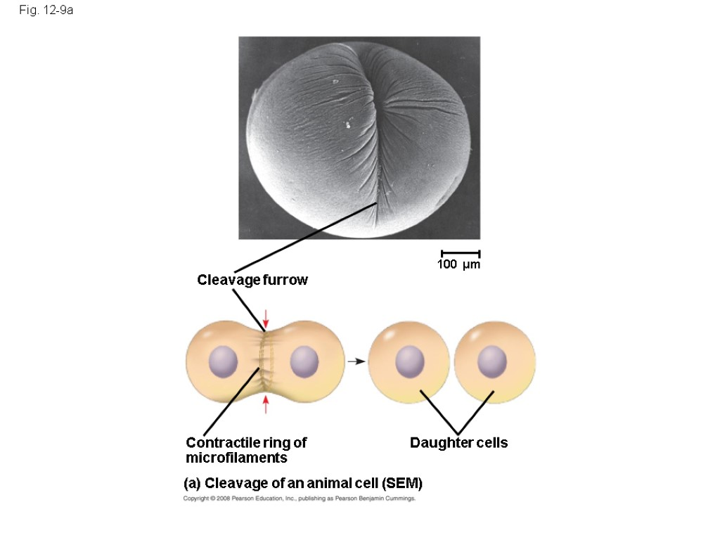 Cleavage furrow Fig. 12-9a 100 µm Daughter cells (a) Cleavage of an animal cell