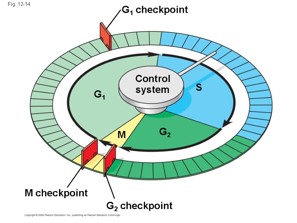 Fig. 12-14 S G1 M checkpoint G2 M Control system G1 checkpoint G2 checkpoint