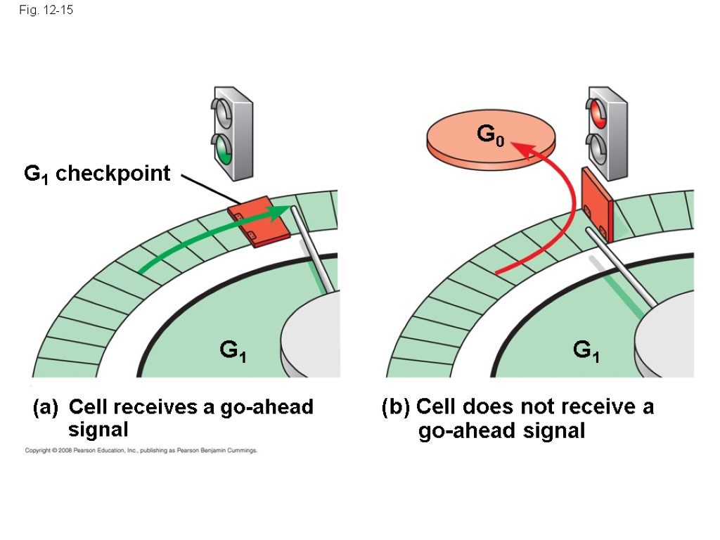Fig. 12-15 G1 G0 G1 checkpoint Cell receives a go-ahead signal G1 (b) Cell