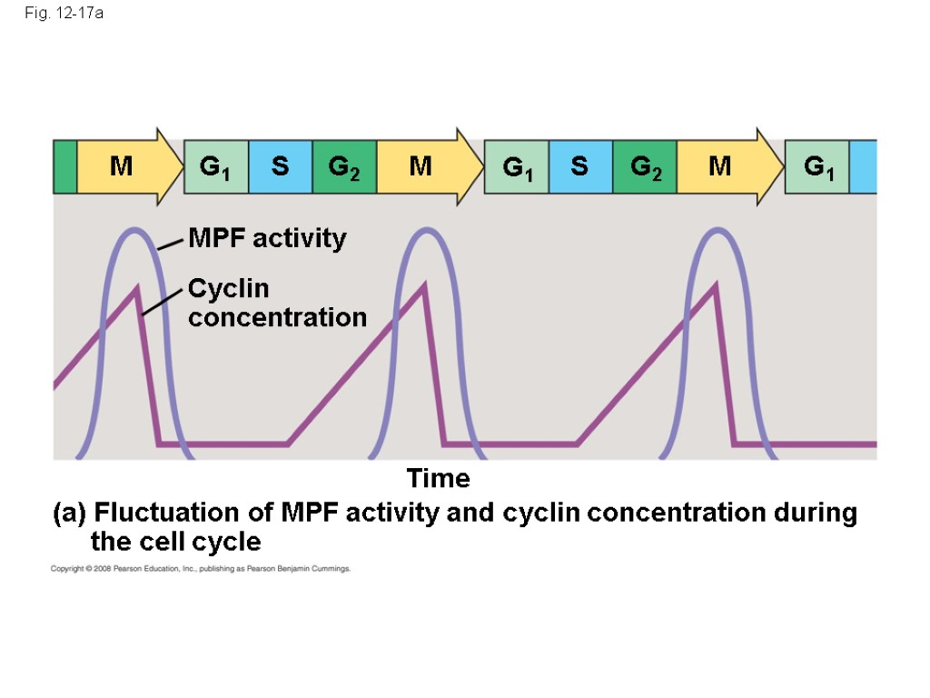 Fig. 12-17a Time (a) Fluctuation of MPF activity and cyclin concentration during the cell