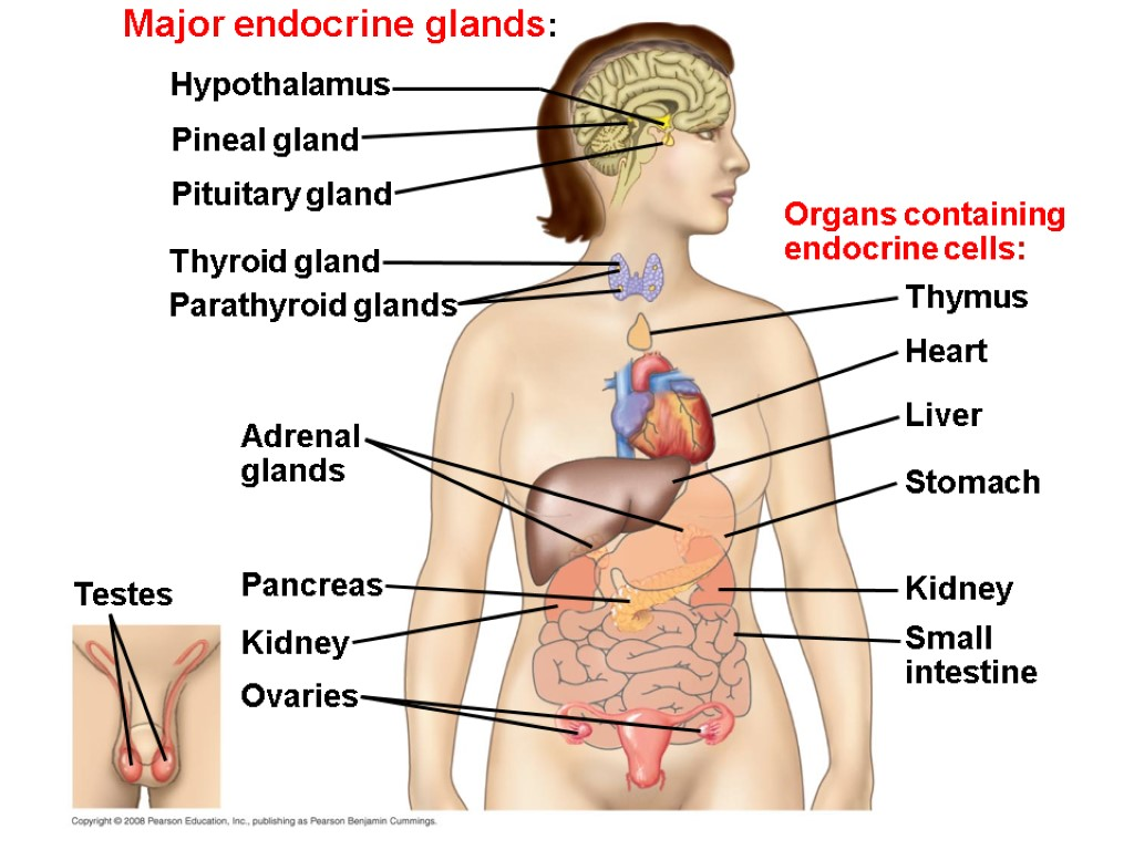 parathyroid and adrenal glands essay Parathyroid gland: parathyroid gland, endocrine gland occurring in all vertebrate species from amphibia upward, usually located close to and behind the thyroid gland.