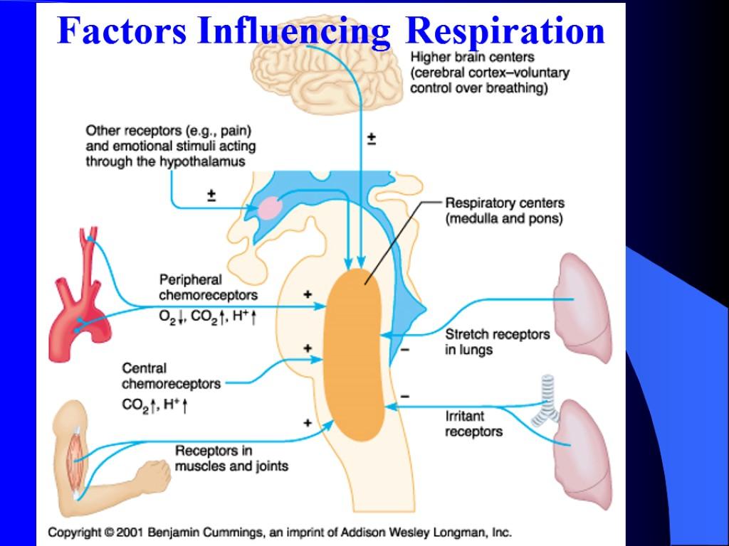 respiratory assignment a p ii