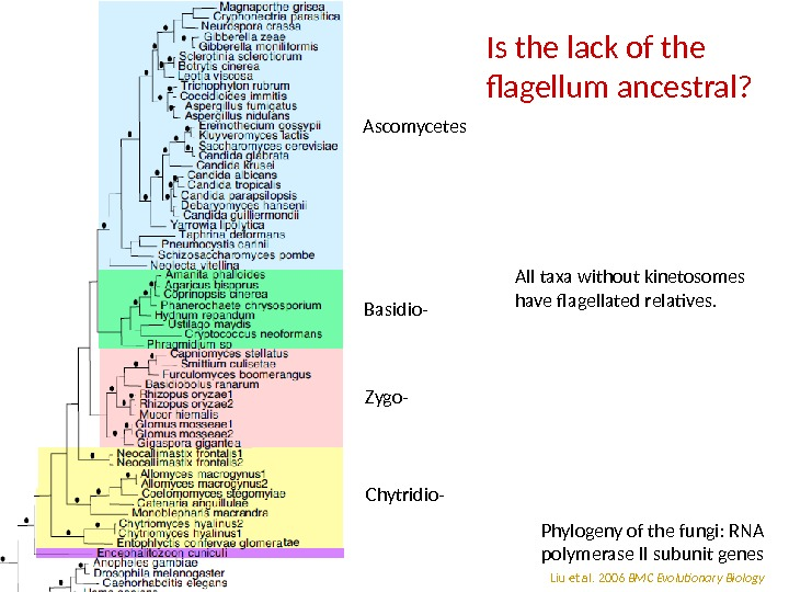 Is the lack of the flagellum ancestral? Liu et al. 2006 BMC Evolutionary Biology. Phylogeny of