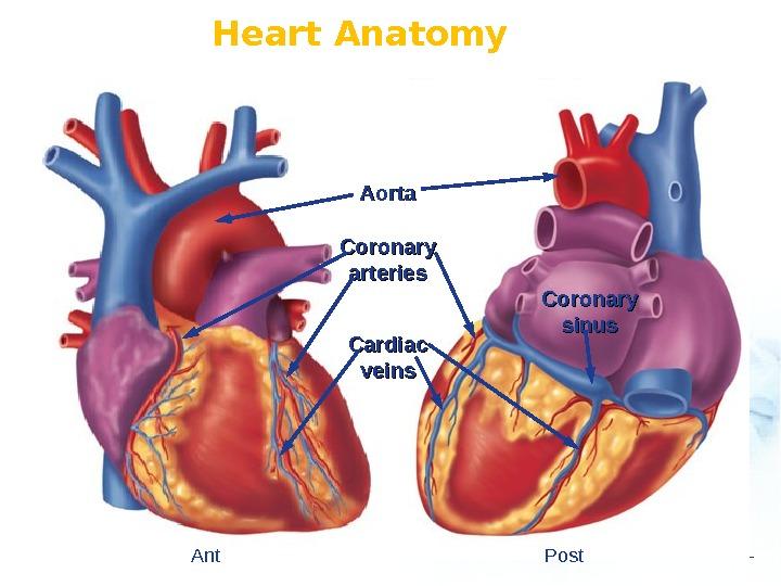 Anatomy Physiology Of Heart Geu Ru Hong Md