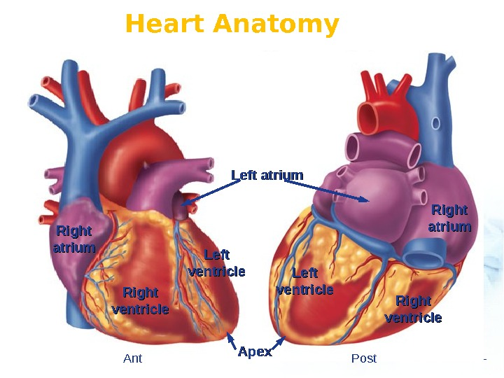 Heart Anatomy Left ventricle Right ventricle Left atrium Right atriumatrium Right ventricle. Left ventricle Apex Ant