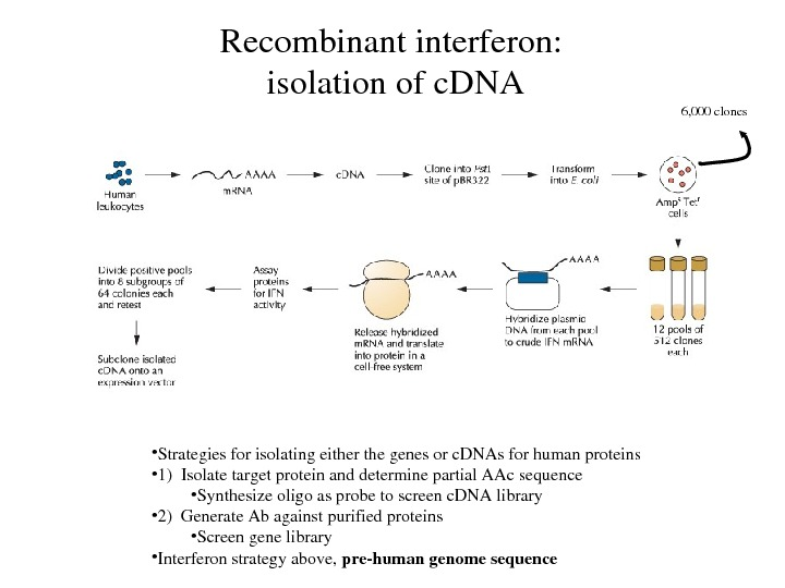 Recombinantinterferon: isolationofc. DNA • Strategiesforisolatingeitherthegenesorc. DNAsforhumanproteins • 1)Isolatetargetproteinanddeterminepartial. AAcsequence • Synthesizeoligoasprobetoscreenc. DNAlibrary • 2)Generate.