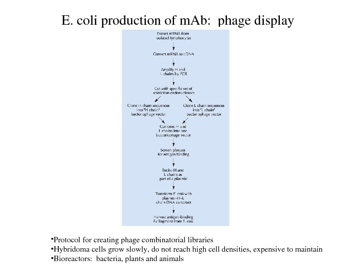 E. coliproductionofm. Ab: phagedisplay • Protocolforcreatingphagecombinatoriallibraries • Hybridomacellsgrowslowly, donotreachhighcelldensities, expensivetomaintain • Bioreactors: bacteria, plantsandanimals