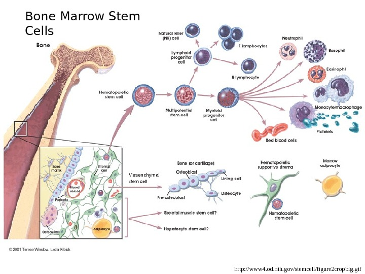 http: //www 4. od. nih. gov/stemcell/figure 2 cropbig. gif. Bone Marrow Stem Cells Mesenchymal