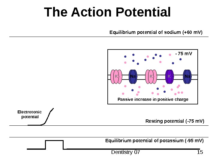 Dentistry 07 15 The Action Potential Resting potential ( -75 m. V ) Equilibrium potential