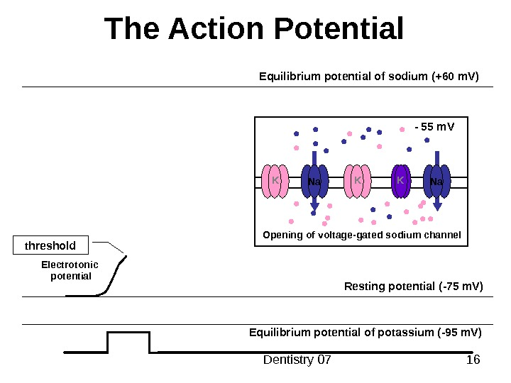 Dentistry 07 16 The Action Potential Resting potential ( -75 m. V ) Equilibrium potential