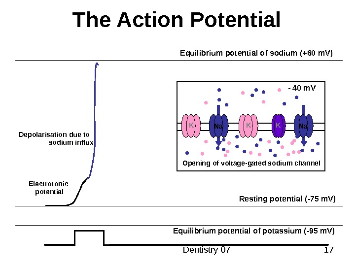 Dentistry 07 17 The Action Potential Resting potential ( -75 m. V ) Equilibrium potential