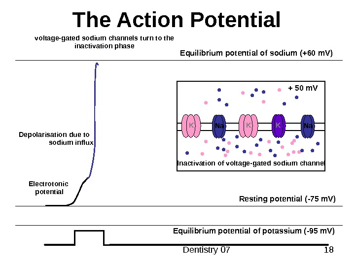 Dentistry 07 18 The Action Potential Resting potential ( -75 m. V ) Equilibrium potential