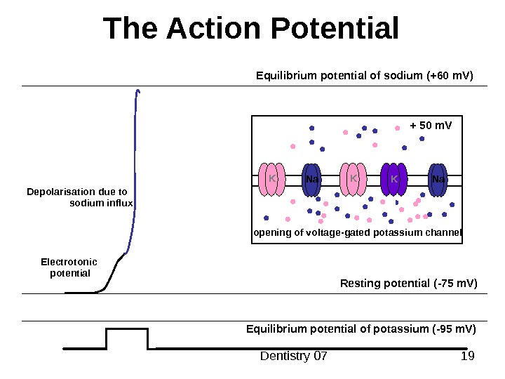 Dentistry 07 19 The Action Potential Resting potential ( -75 m. V ) Equilibrium potential