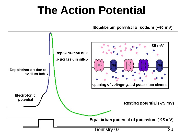 Dentistry 07 20 The Action Potential Resting potential ( -75 m. V ) Equilibrium potential