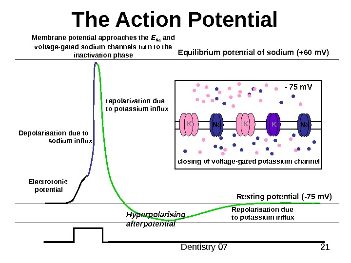 Dentistry 07 21 The Action Potential Resting potential ( -75 m. V )Equilibrium potential of
