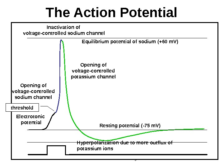 Dentistry 07 22 The Action Potential Electrotonic potential. Opening of voltage - controlled sodium channel