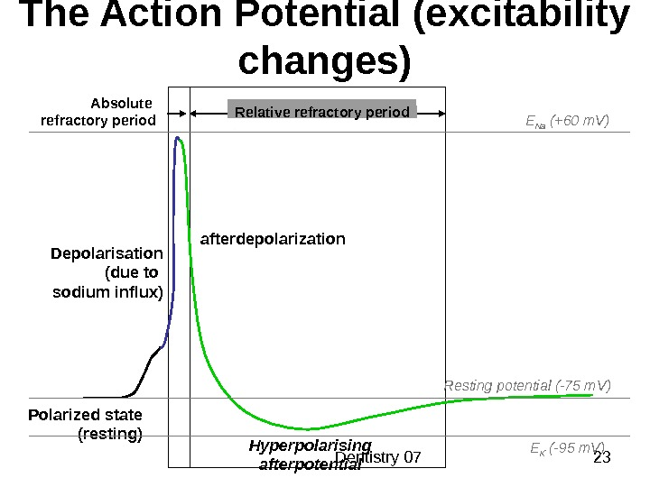 Dentistry 07 23 The Action Potential (excitability changes) Polarized state (resting)Depolarisation ( due to sodium