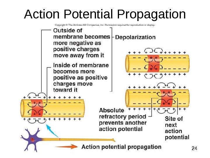 Dentistry 07 24 Action Potential Propagation