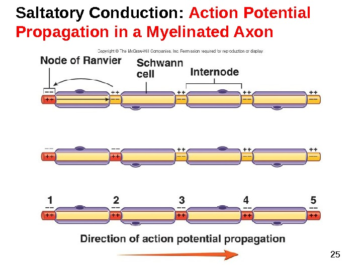 Dentistry 07 25 Saltatory Conduction:  Action Potential Propagation in a Myelinated Axon