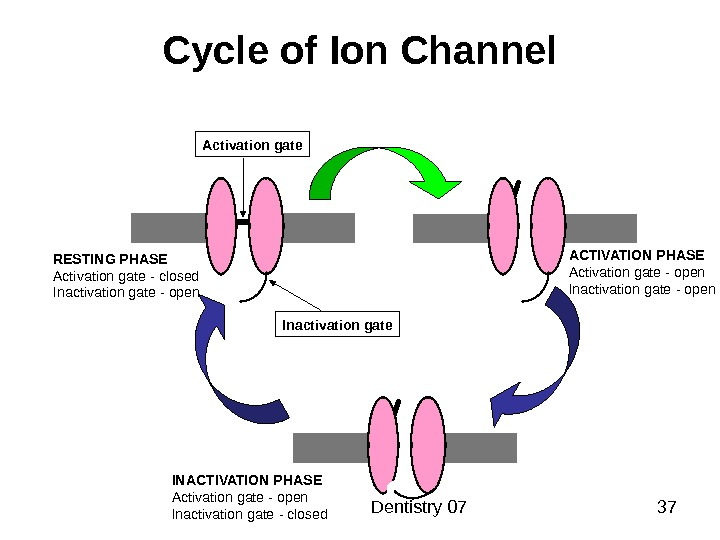 Dentistry 07 37 Cycle of Ion Channel Activation gate Inactivation gate. RESTING PHASE Activation gate