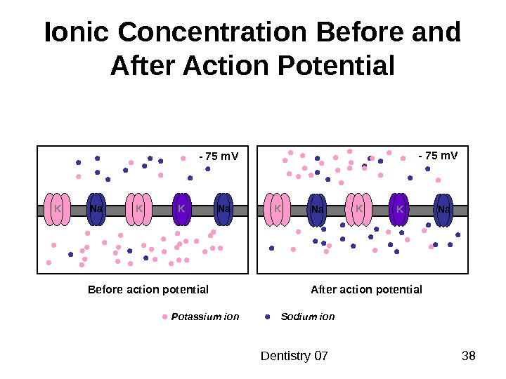 Dentistry 07 38 Ionic Concentration Before and After Action Potential K Na K K -