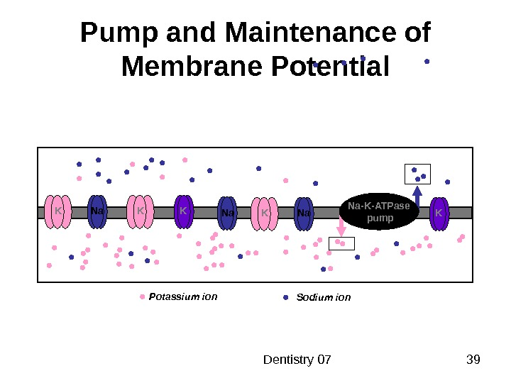 Dentistry 07 39 Pump and Maintenance of Membrane Potential K Na K K Potassium ion