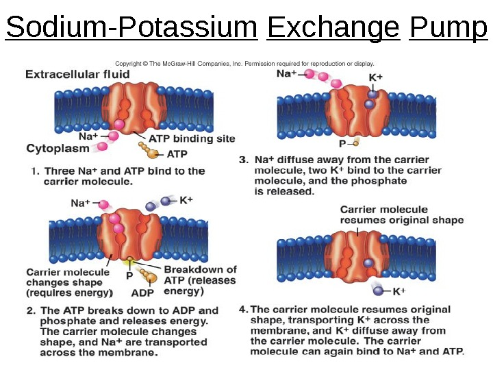 Dentistry 07 6 Sodium-Potassium  Exchange  Pump