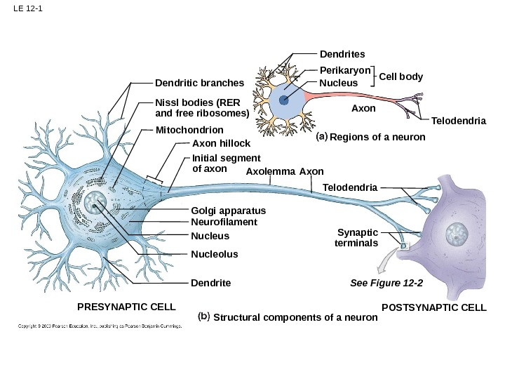 LE 12 -1 Dendrites Perikaryon Nucleus Cell body Axon Telodendria. Axon Regions of a neuron. Dendritic