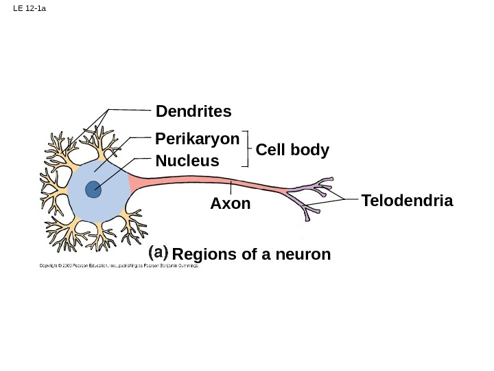 LE 12 -1 a Dendrites Perikaryon Nucleus Cell body Axon Telodendria Regions of a neuron