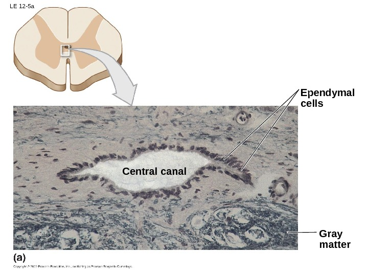 LE 12 -5 a Ependymal cells Gray matter. Central canal