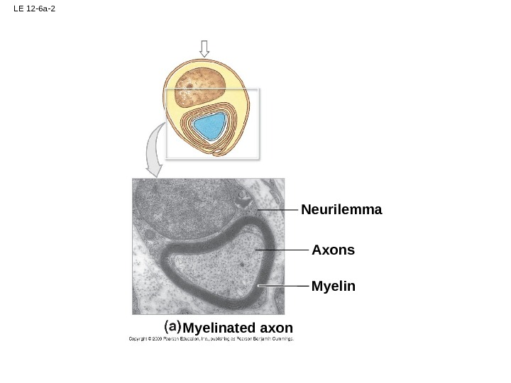 LE 12 -6 a-2 Myelin Axons. Neurilemma Myelinated axon