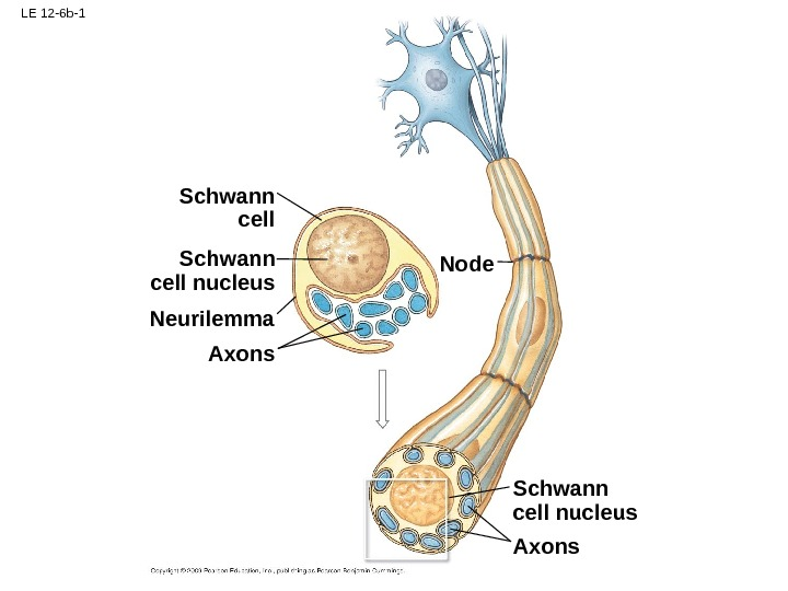 LE 12 -6 b-1 Schwann cell nucleus Axons. Schwann cell nucleus Neurilemma Axons Node
