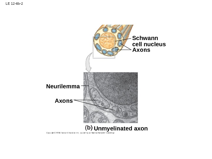 LE 12 -6 b-2 Axons. Neurilemma Unmyelinated axon Schwann cell nucleus Axons