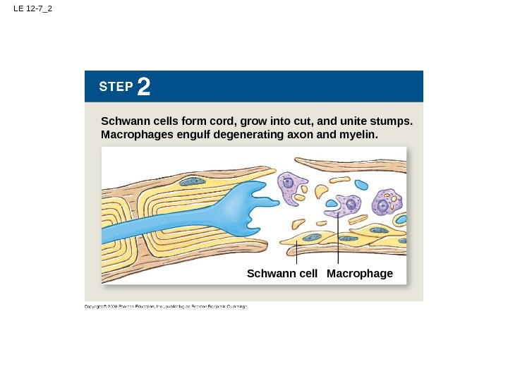 LE 12 -7_2 Schwann cells form cord, grow into cut, and unite stumps. Macrophages engulf degenerating