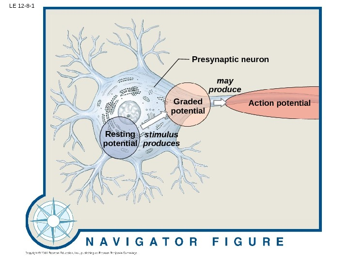 LE 12 -8 -1 Action potential. Presynaptic neuron Graded potential may produce stimulus produces. Resting potential