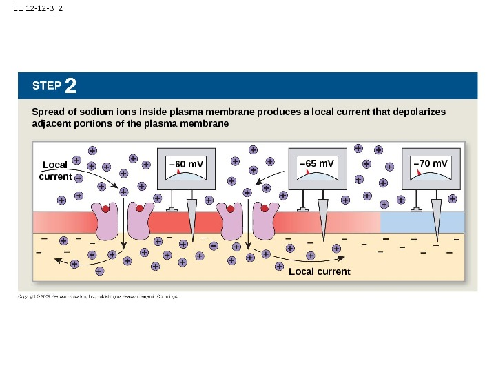 LE 12 -12 -3_2 Spread of sodium ions inside plasma membrane produces a local current that