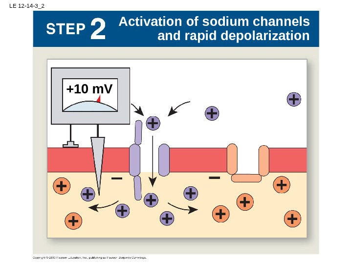 LE 12 -14 -3_2 +10 m. V Activation of sodium channels and rapid depolarization