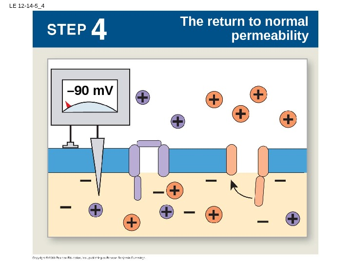 LE 12 -14 -5_4 The return to normal permeability – 90 m. V