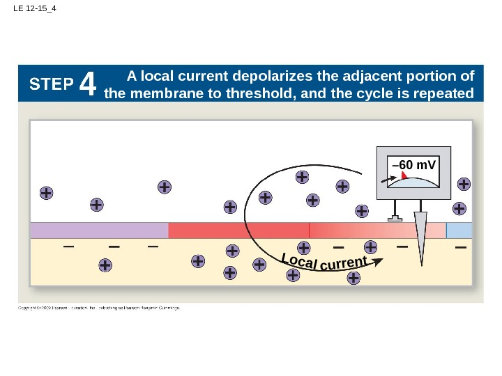 LE 12 -15_4 – 60 m. VLocal. A local current depolarizes the adjacent portion of the