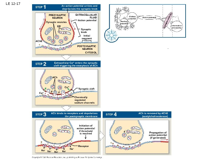 LE 12 -17 Action potential. EXTRACELLULAR FLUIDPRESYNAPTIC NEURON Ca 2+ Synaptic vesicles Na + An action