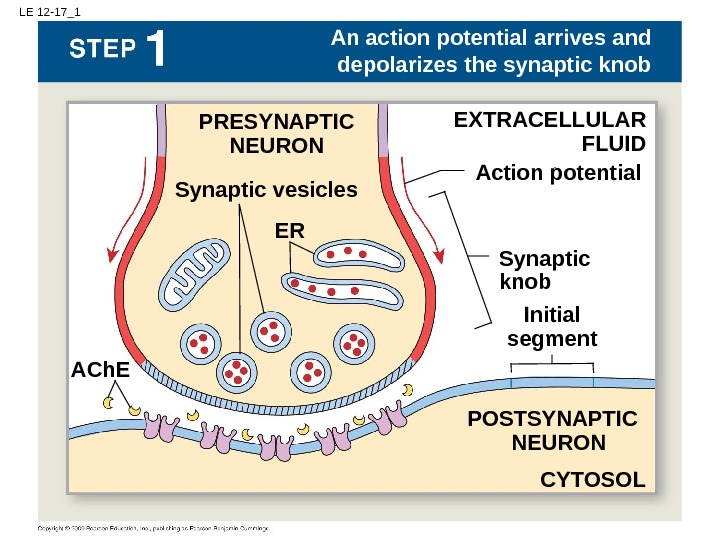 LE 12 -17_1 EXTRACELLULAR FLUIDPRESYNAPTIC NEURON Synaptic vesicles An action potential arrives and depolarizes the synaptic