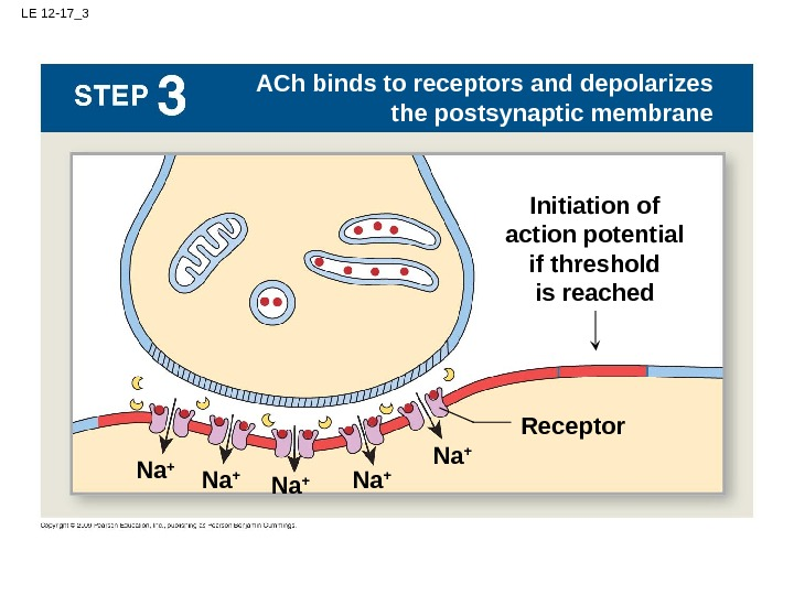 LE 12 -17_3 Na + ACh binds to receptors and depolarizes the postsynaptic membrane Na +