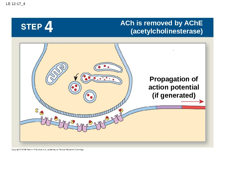 LE 12 -17_4 Action potential at node 1 ACh is removed by ACh. E (acetylcholinesterase) Propagation