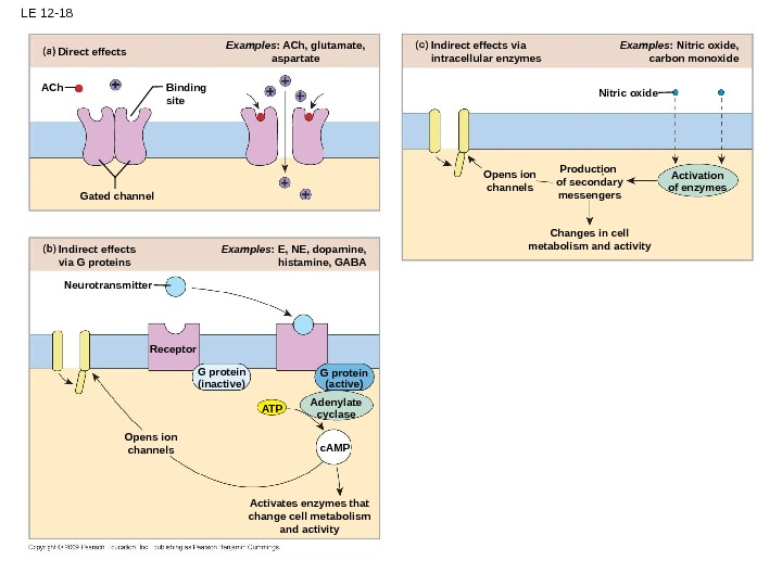 LE 12 -18 Changes in cell metabolism and activity Examples : Nitric oxide, carbon monoxide Opens