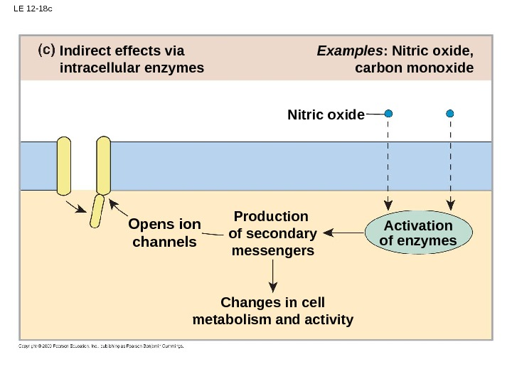 LE 12 -18 c Changes in cell metabolism and activity Examples : Nitric oxide, carbon monoxide