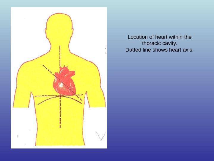 Location of heart within the thoracic cavity. Dotted line shows heart axis.