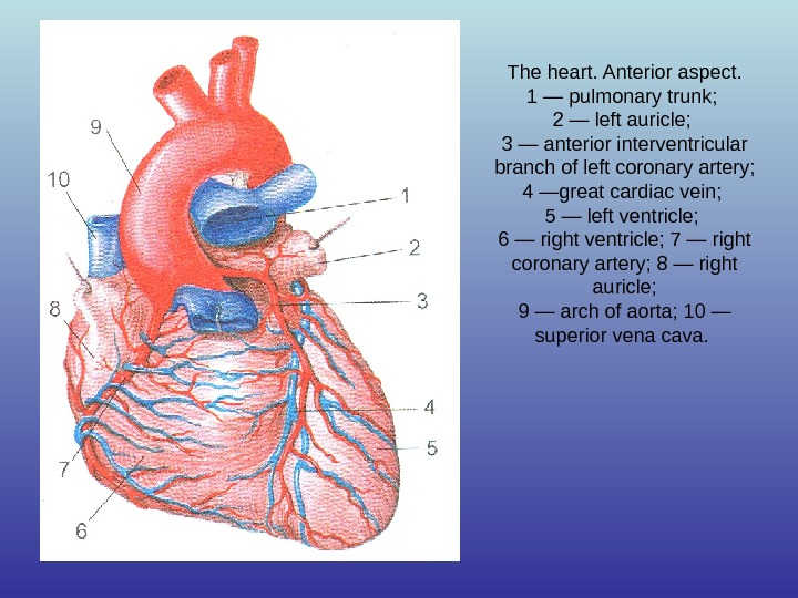 The heart. Anterior aspect. 1 — pulmonary trunk;  2 — left auricle;  3 —