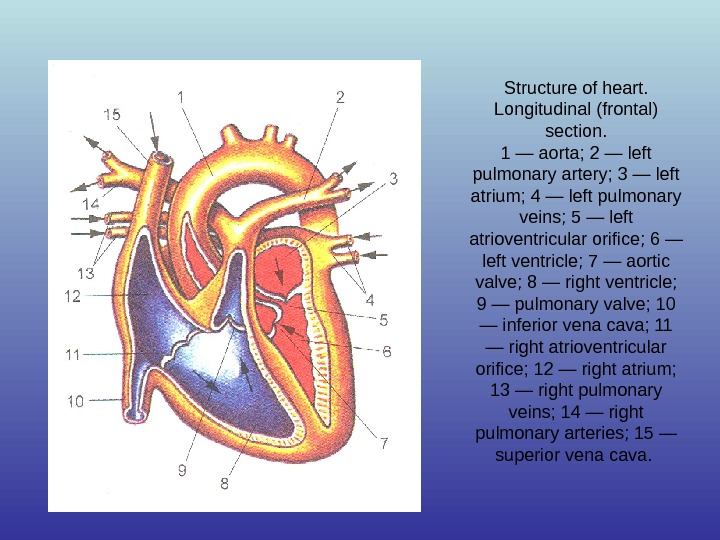 Structure of heart.  Longitudinal (frontal) section. 1 — aorta; 2 — left pulmonary artery; 3